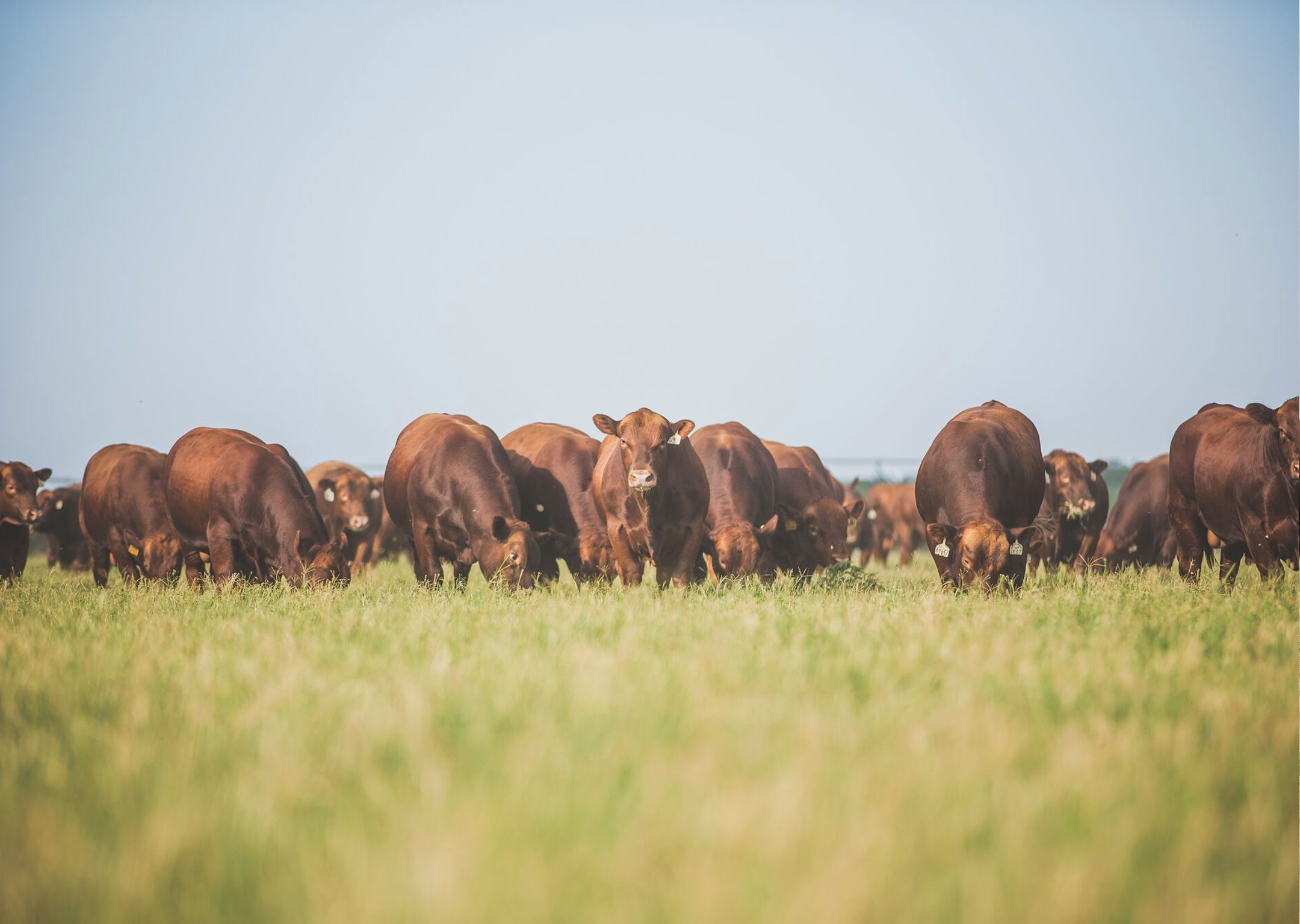 texas-red-angus-association-home-main